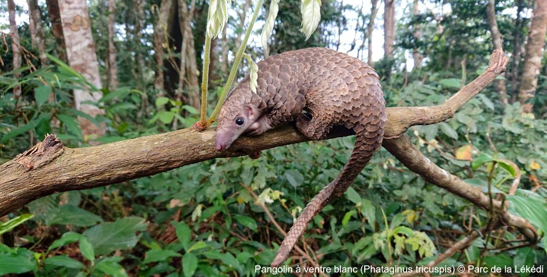 Protection des espèces de faunes menacées : l'ONG Conservation justice félicite le gouvernement !