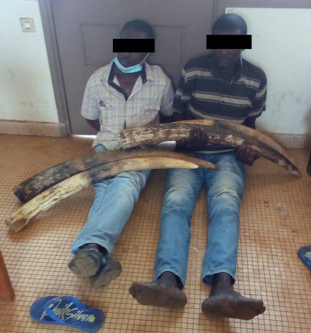Trafic d'ivoire à Tchibanga : Deux suspects interpellés !