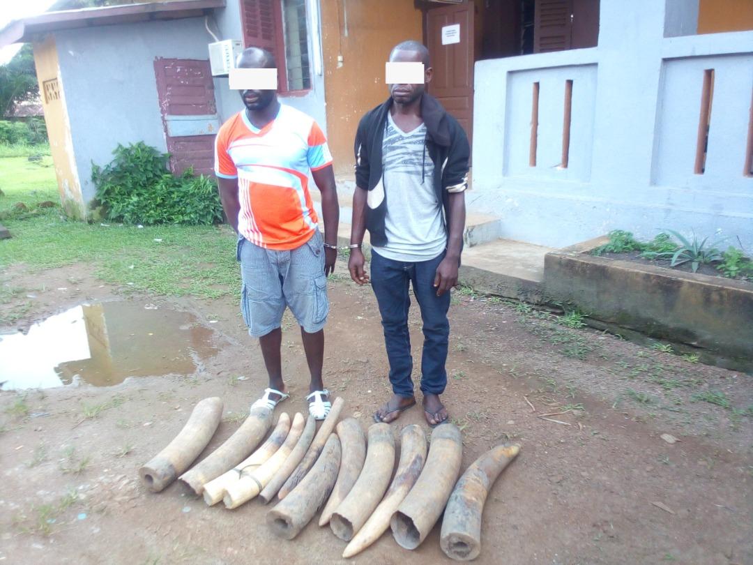 Deux présumés trafiquants d'ivoire appréhendés à Ndendé !