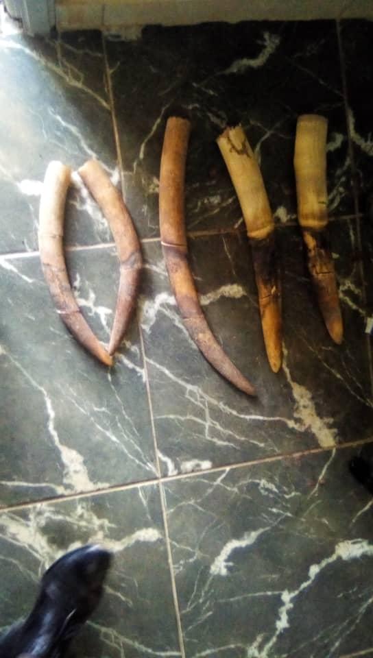 5 pointes d'ivoire saisies à Oyem !