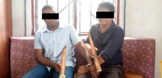 Deux présumés trafiquants d'ivoire interpellés à Mouila !